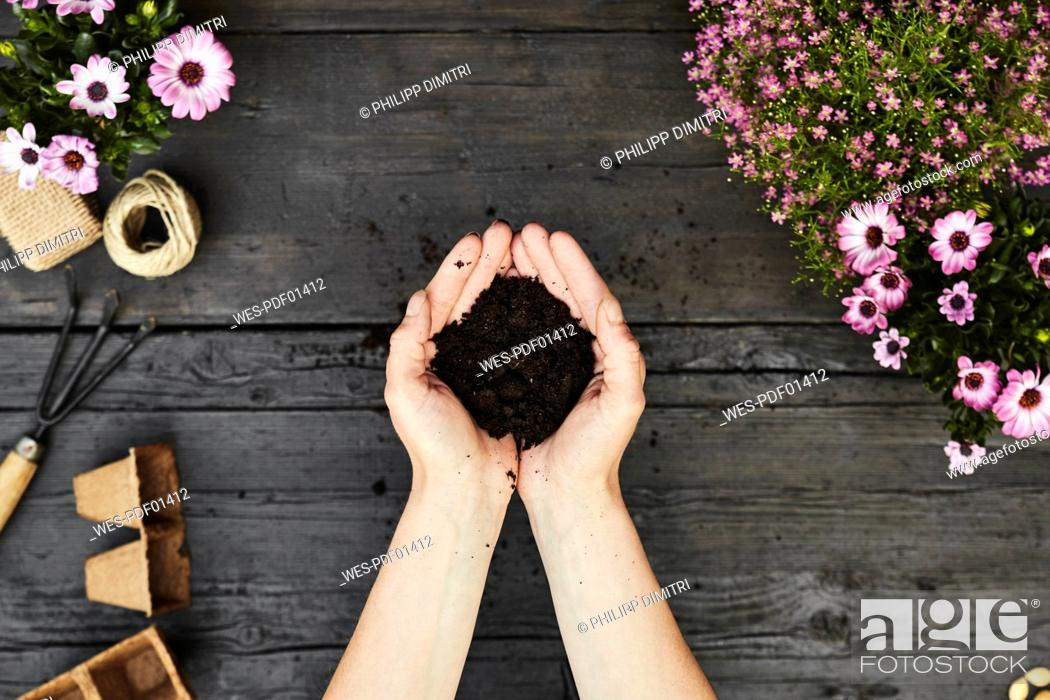 Stock Photo: Woman's hands holding garden soil.