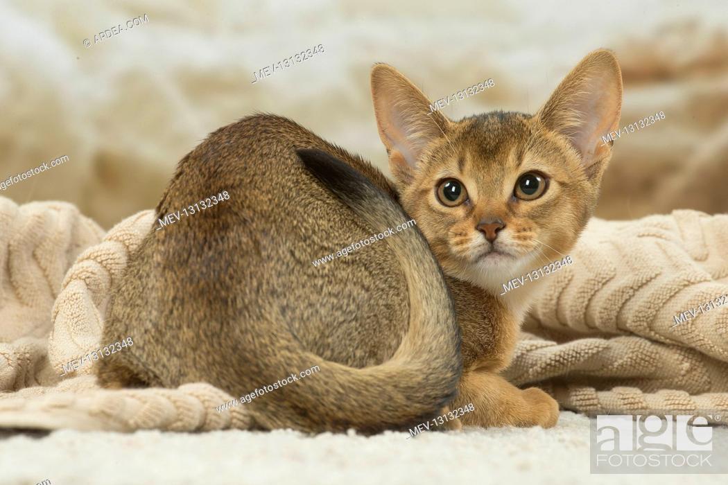 Stock Photo: Abyssinian kitten indoors.