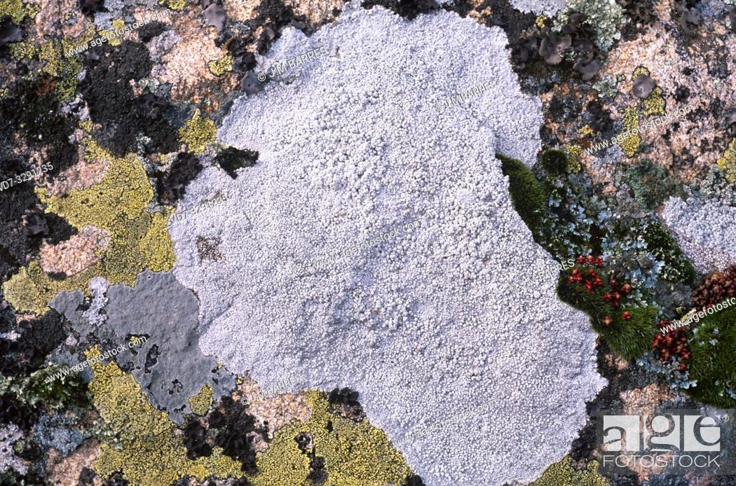 Imagen: Pertusaria amara is a crustose lichen that grows on bark tree or siliceous rock.