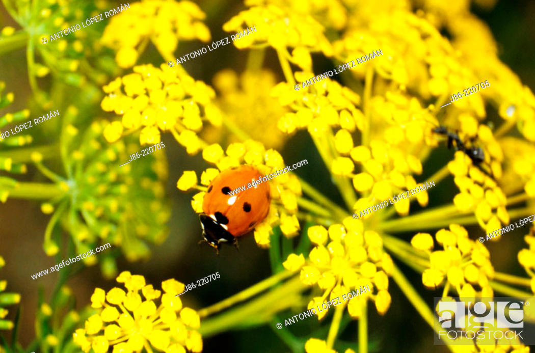 Stock Photo: Ladybird (Coccinella septempunctata).
