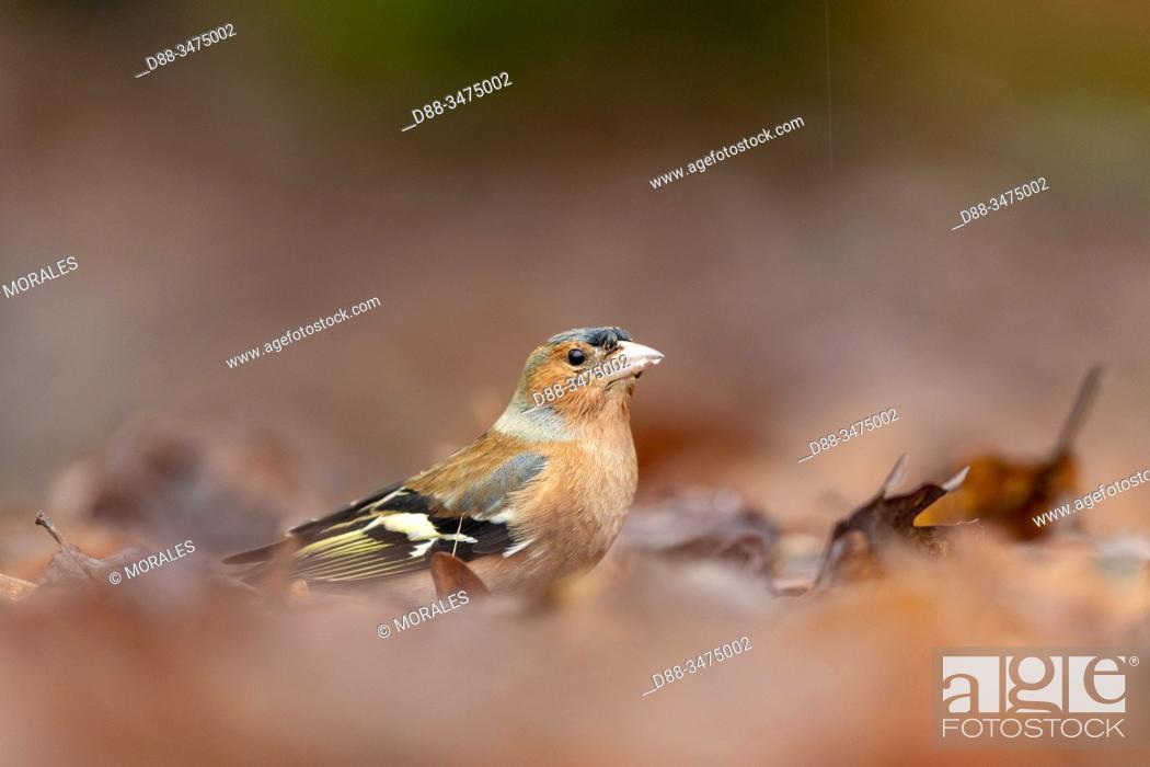 Stock Photo: France, Pays de la Loire, Sarthe, Rouesse Vasse, grove, Common chaffinch (Fringilla coelebs), male.