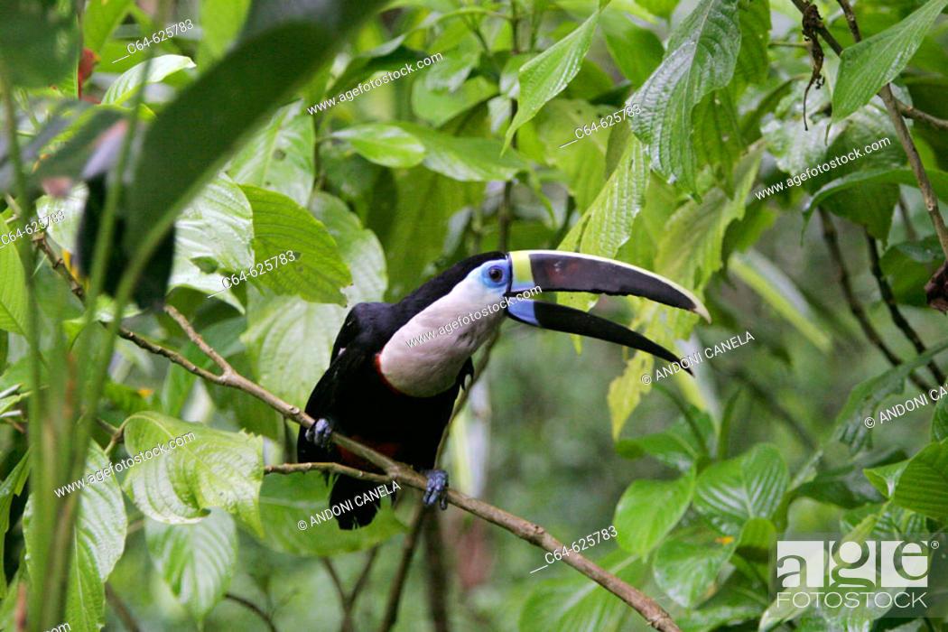 Stock Photo: Red-billed Toucan (Ramphastos tucanus). Tambopata rainforest. Amazonia basin. Peru.