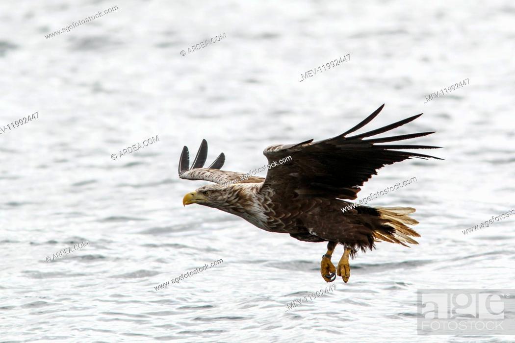 Imagen: White-Tailed Eagle - fishing - Isle of Mull, Scotland, United Kingdom.