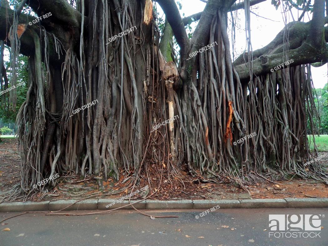 Stock Photo: Ficus religiosa, Brick wall, tree roots, Ibirapuera Park, São Paulo, Brazil.
