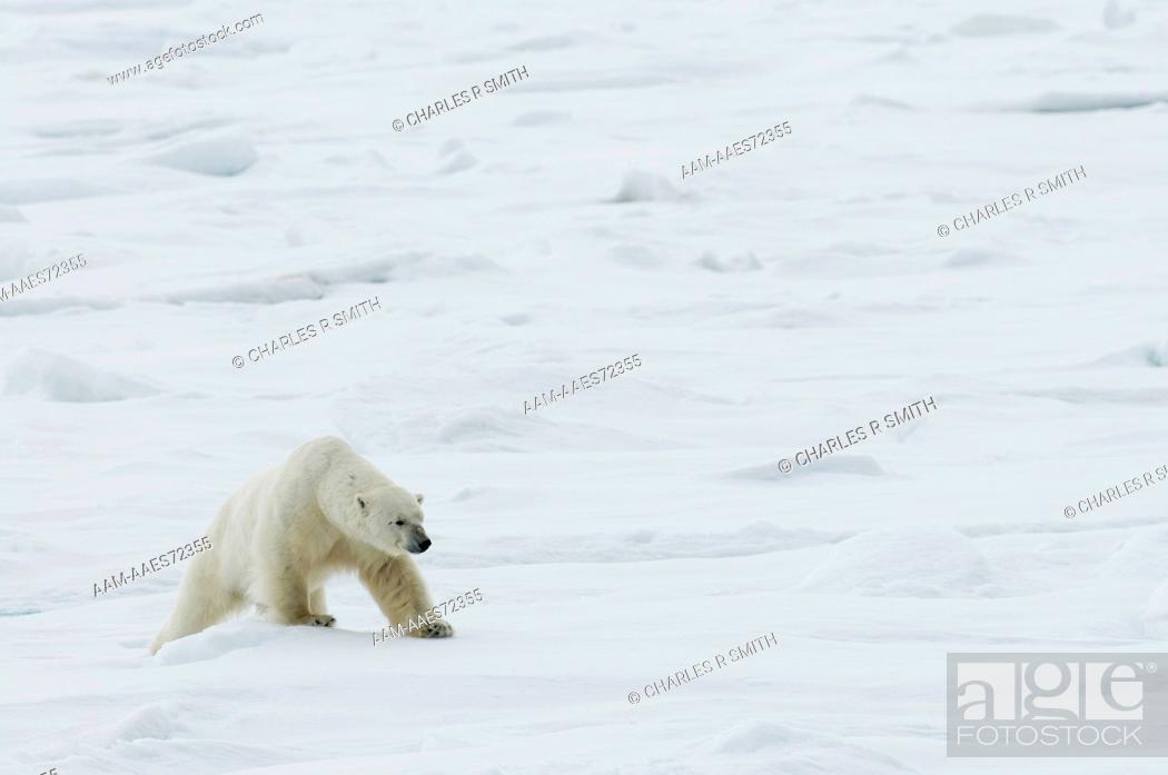 Photo de stock: Polar Bear on Ice Floe at Spitzbergen, Norway 06-09-2008 (Ursus maritimus).