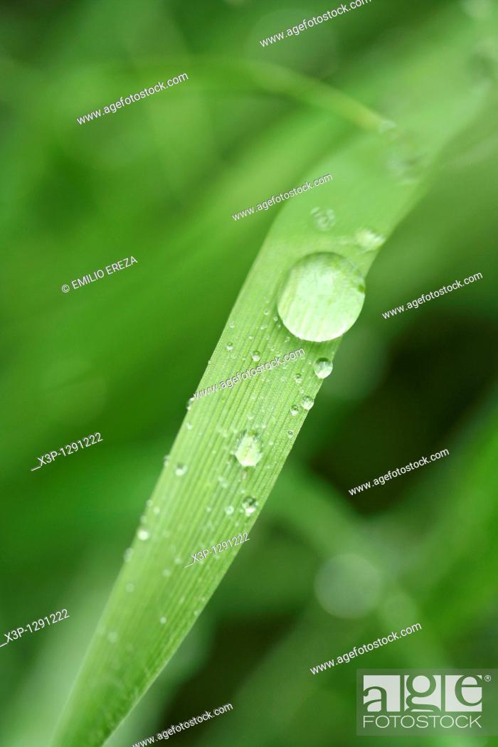 Stock Photo: Dew on grass leaf.