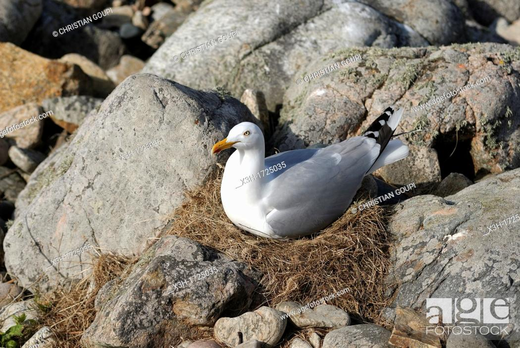 seagull nesting on the Lihou islet, Island of Guernsey