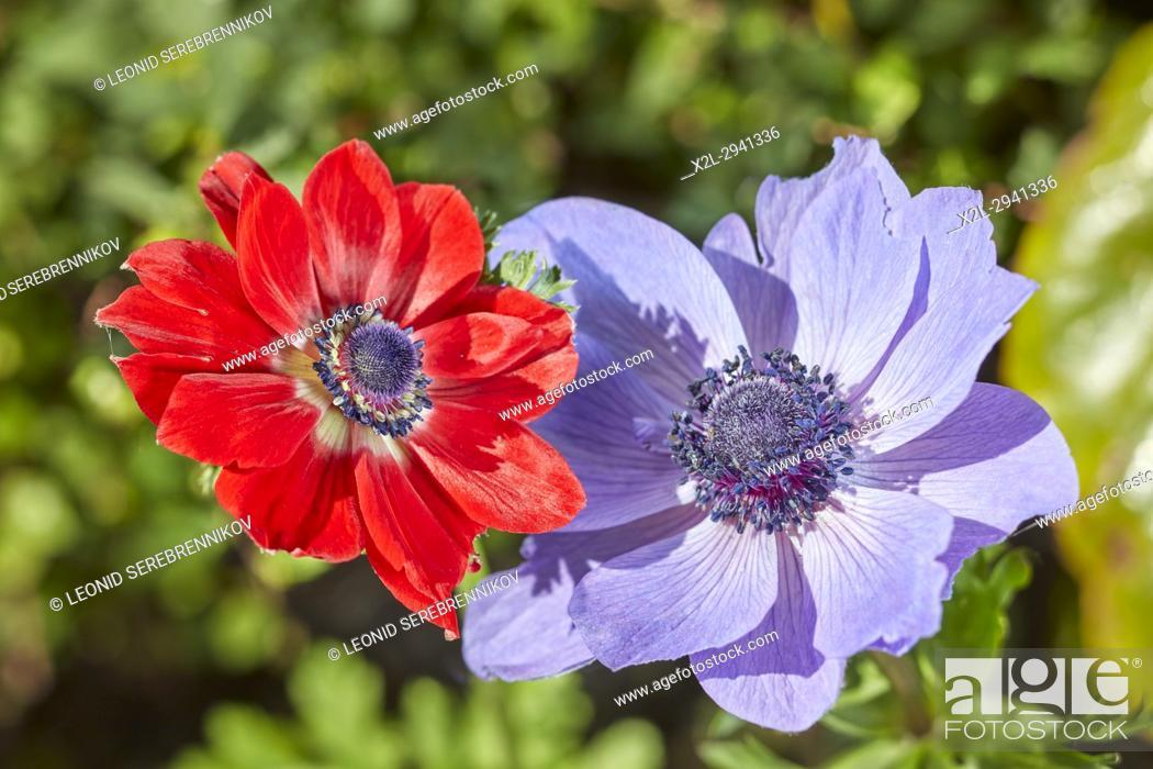 Poppy Anemone Flowers Scientific Name Anemone Coronaria Stock