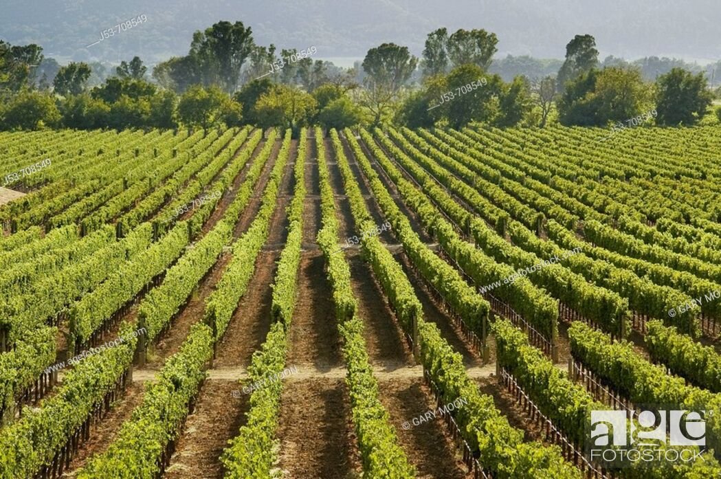 Stock Photo: Vineyard, Napa Valley, California.
