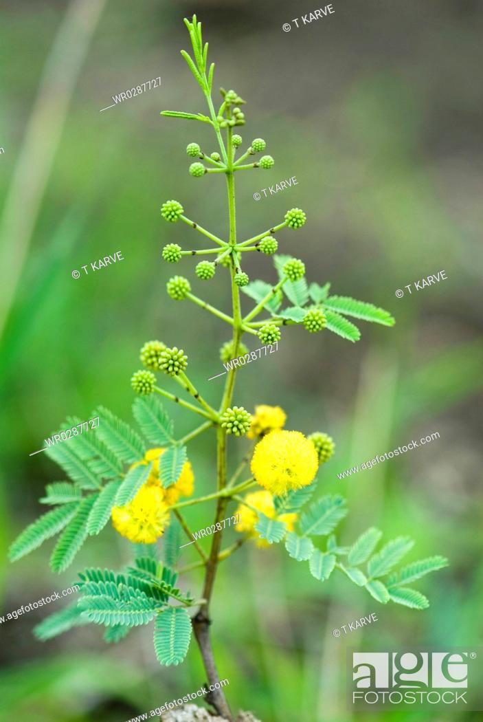 Babul acacia arabica buds with yellow flower ayurvedic herb in stock photo babul acacia arabica buds with yellow flower ayurvedic herb in salunkwadi ambajogai mightylinksfo