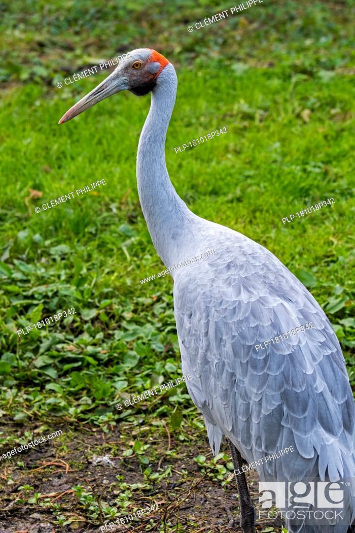 Imagen: Brolga / native companion / Australian crane (Antigone rubicunda) native to Australia and New Guinea.