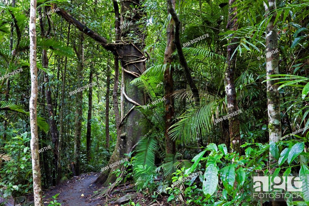 Stock Photo: path in a rainforest, Australia, Queensland, Atherton Tablelands.