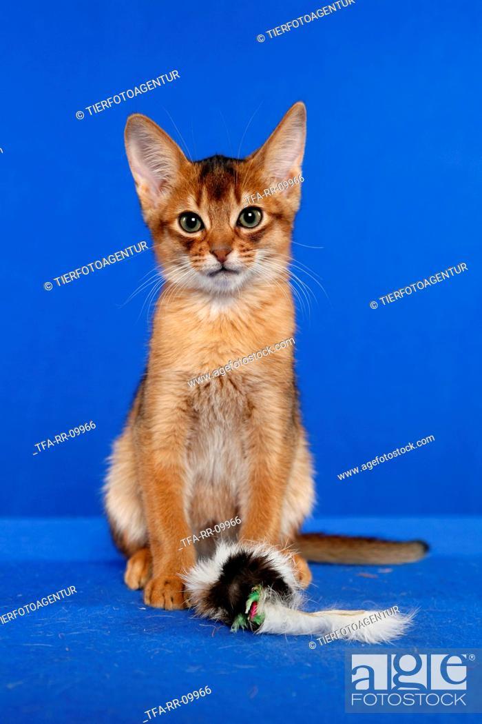 Stock Photo: Abessinier Kitten.