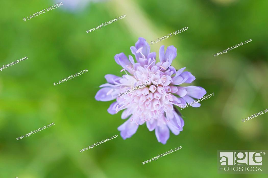 Stock Photo: Scabiosa flower.