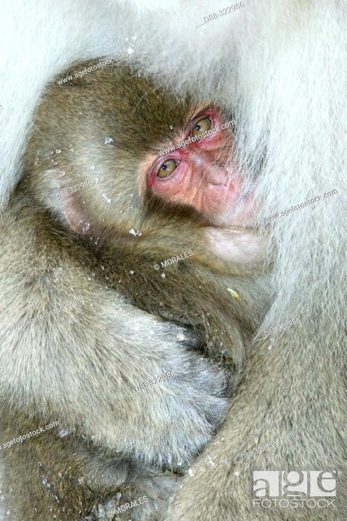 Stock Photo: Japanese Macaque (Macaca fuscata).