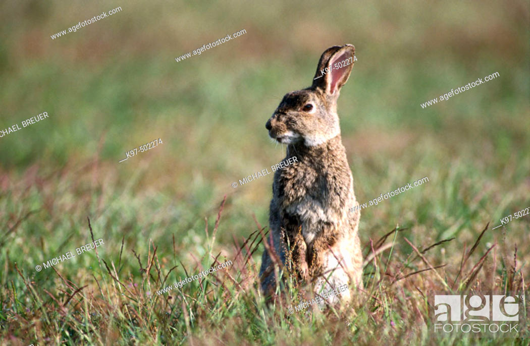 Stock Photo: European Rabbit (Oryctolagus cuniculus). Germany.