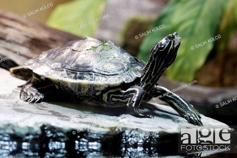 Stock Photo: wasserschildkröte.