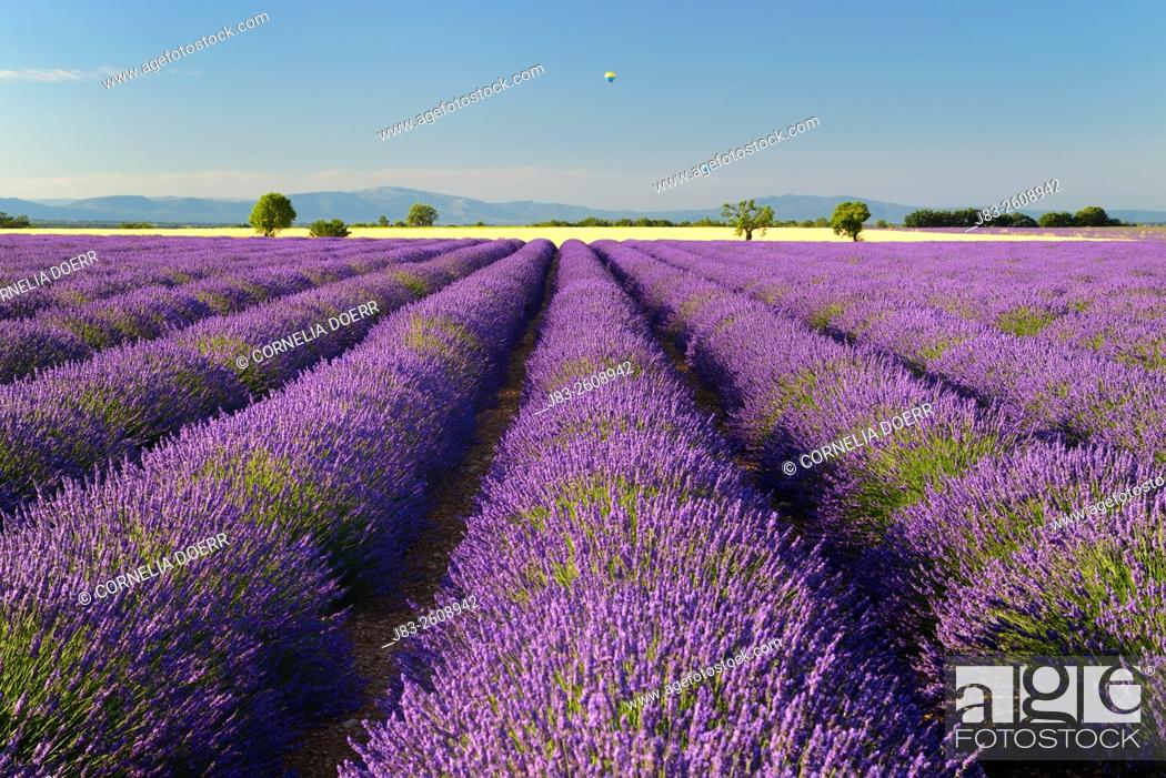 Stock Photo: Lavender field and balloons on air (Lavendula augustifolia), Valensole, Plateau de Valensole, Alpes-de-Haute-Provence, Provence-Alpes-Cote d'Azur, Provence.
