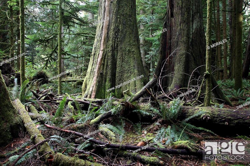 Stock Photo: Temperate rain forest on Princess Royal Island . British Columbia . Canada . Cathedral Grove.