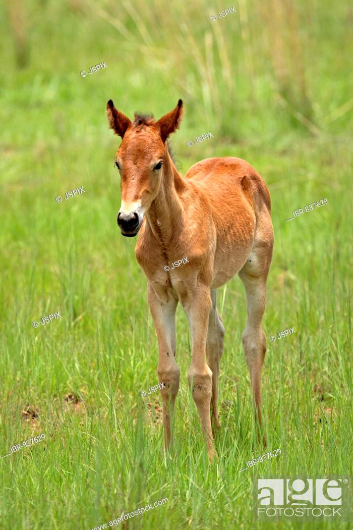 Stock Photo: Horse (Equus), foal, South Africa, Africa.