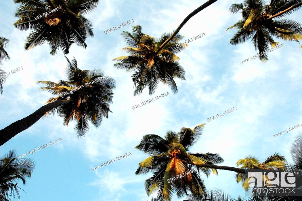 Imagen: Low angle of many Coconut Trees in a Coconut Grove with blue sky and white clouds , India.
