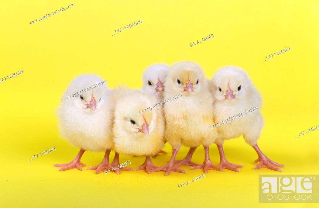 Stock Photo: newly hatched Dayold Chicks in a row on yellow background.