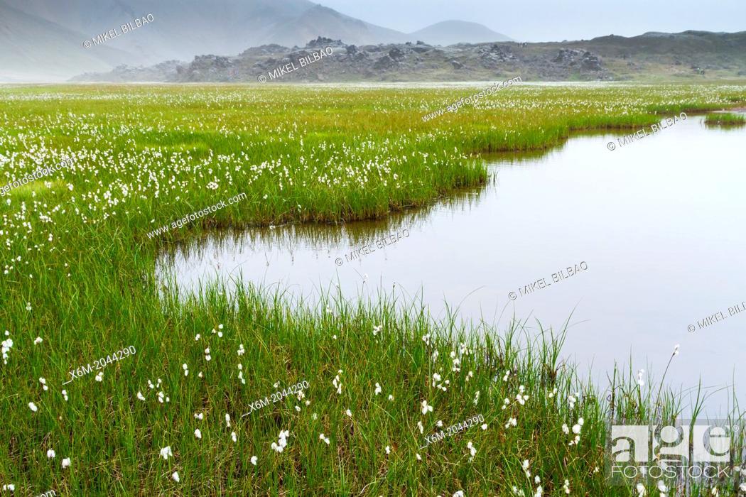 Stock Photo: Common cottongrass (Eriophorum angustifolium) in wetlands. Landmannalaugar region. Highlands. Iceland, Europe.