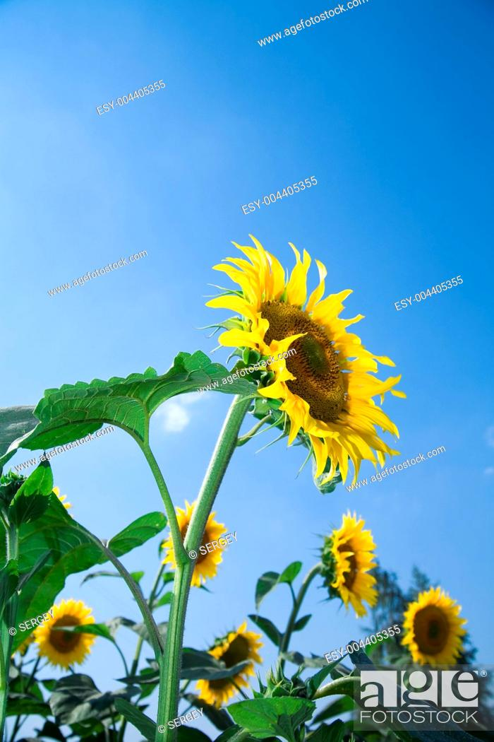 Stock Photo: Beautiful sunflowers growing in the field on a background of blue sky.