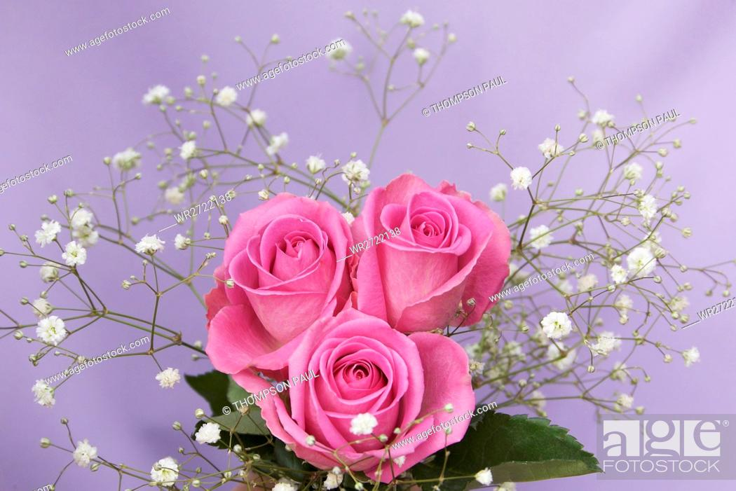Stock Photo: 90900135, Posy of Pink Roses and Gypsophila, bouqu.