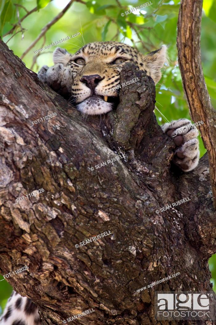 Stock Photo: A leopard rubbing its face against tree bark.
