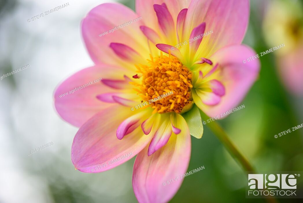 Stock Photo: Front and Center Flower.
