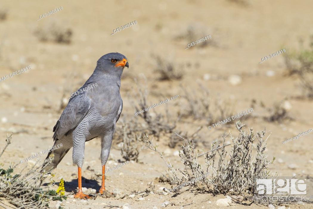 Stock Photo: Pale-chanting Goshawk (Melierax canorus). Kalahari Desert, Kgalagadi Transfrontier Park, South Africa.