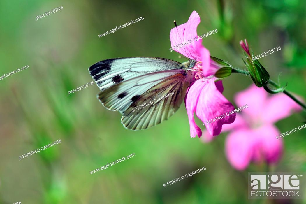Stock Photo: A cabbage white butterfly sits on a flower inCologne, Germany, 18 July 2016. Photo:FEDERICOGAMBARINI/dpa   usage worldwide.