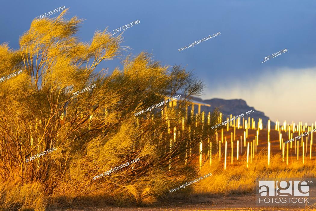 Stock Photo: Trellis vineyard plantation. Almansa. Albacete province, Castile-La Mancha, Spain.