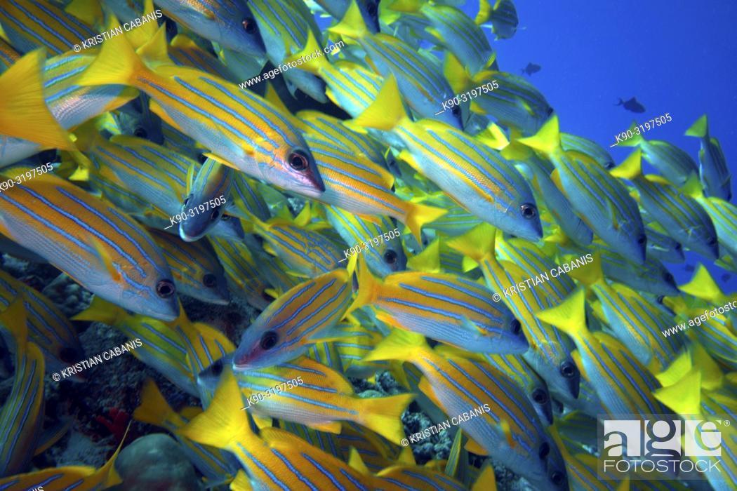 Imagen: School of Bluestripe Snapper (Lutjanus kasmira), Indian Ocean, Maldives, South Asia.