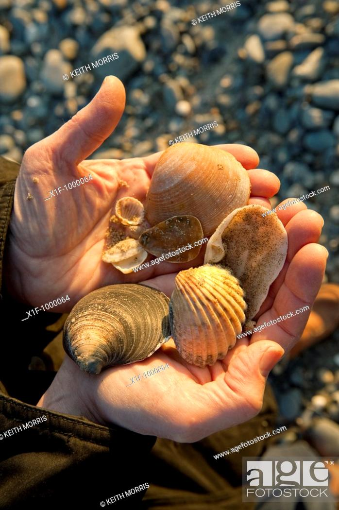 Stock Photo: A handful of various assorted sea shells collected of the beach at Tywyn Gwynedd north wales UK.