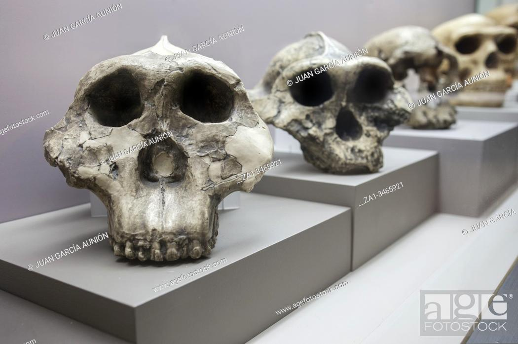 Stock Photo: Barcelona, Spain - Dec 27th 2019: Human evolution from australopithecus to neanderthalensis. Catalan Museum of Archaeology, Barcelona, Spain.