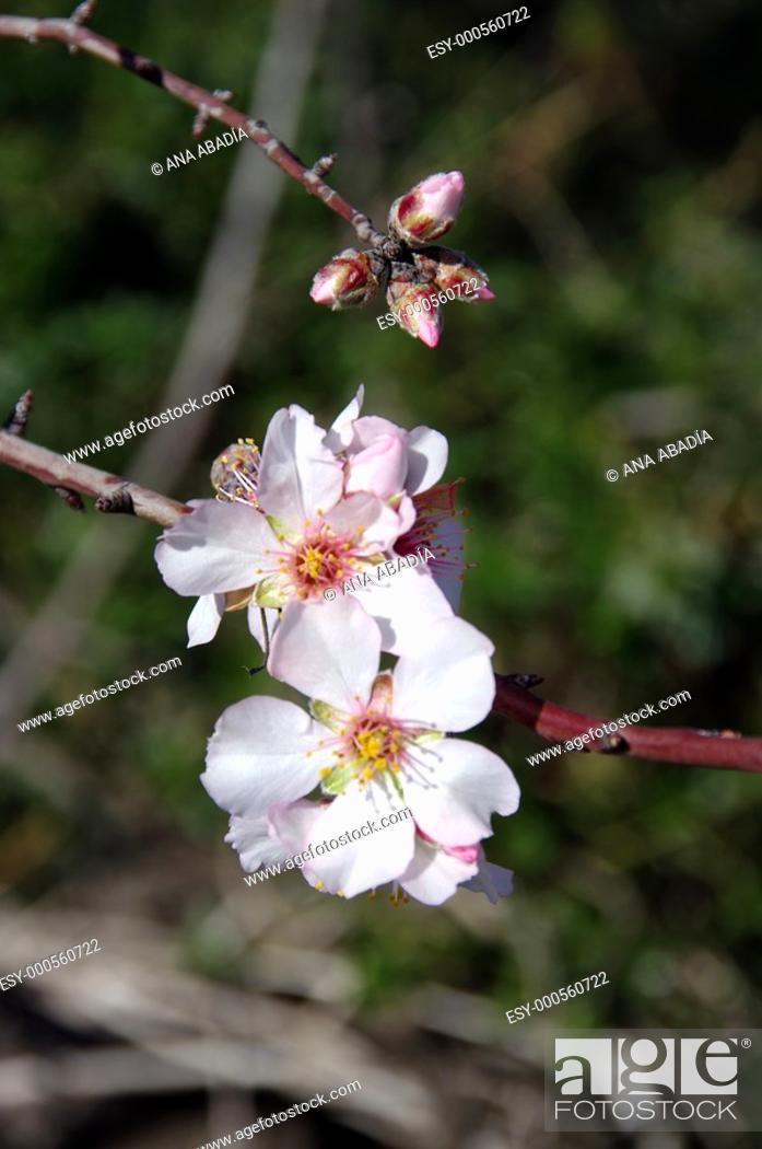 Stock Photo: almendro en flor.