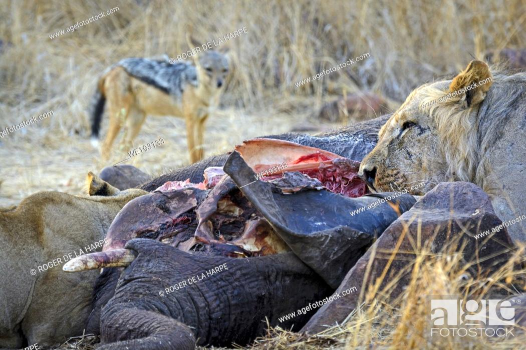 Stock Photo: Masai lion or East African lion (Panthera leo nubica syn. Panthera leo massaica) feeding on an African bush elephant (Loxodonta africana) that they have killed.