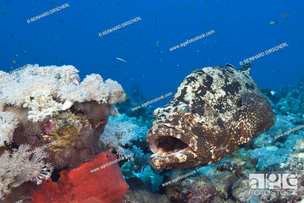 Stock Photo: Flowery Grouper beeing cleaned, Epinephelus fuscoguttatus, Red Sea, Ras Mohammed, Egypt.