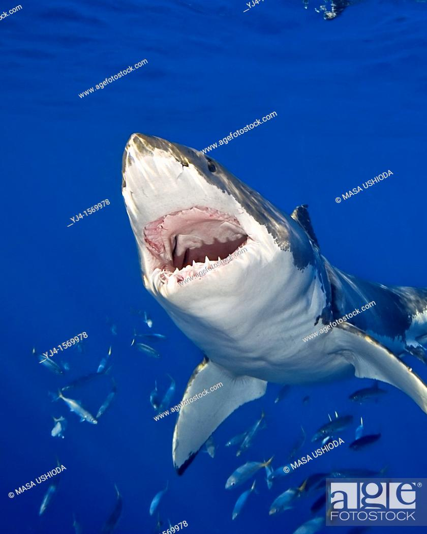 Stock Photo: great white shark, Carcharodon carcharias, with open jaw, Guadalupe Island, Mexico, Pacific Ocean.