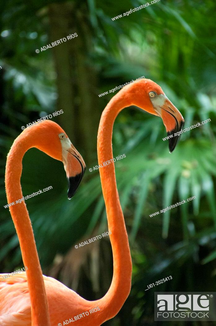 Stock Photo: Flamingos Phoenicopterus ruber are water birds that measure 1.20 meters and weighing between two and three kilos.