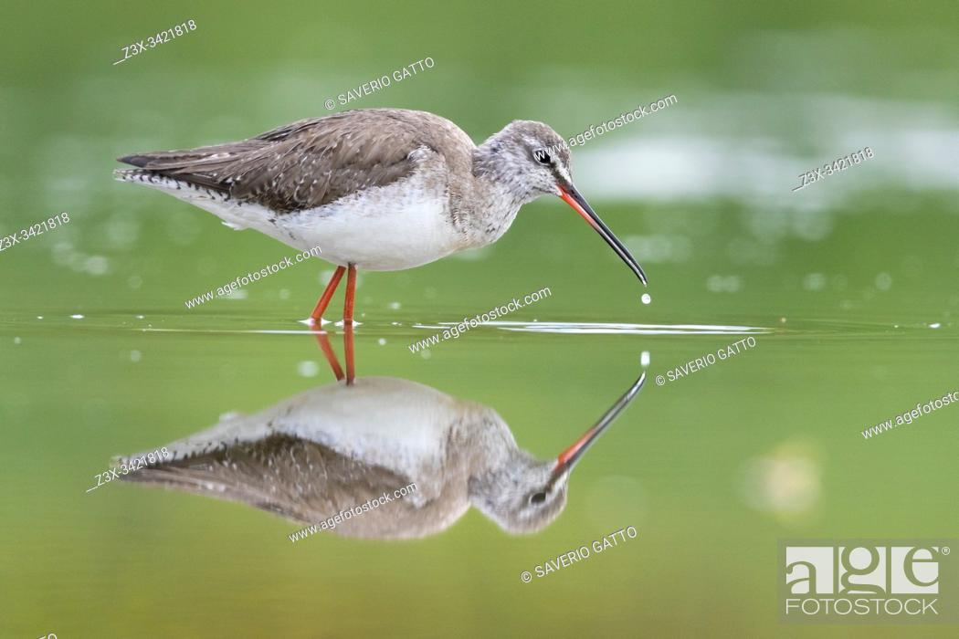 Stock Photo: Spotted Redshank (Tringa erythropus), side view of an adult reflecting itself in the water, Campania, Italy.
