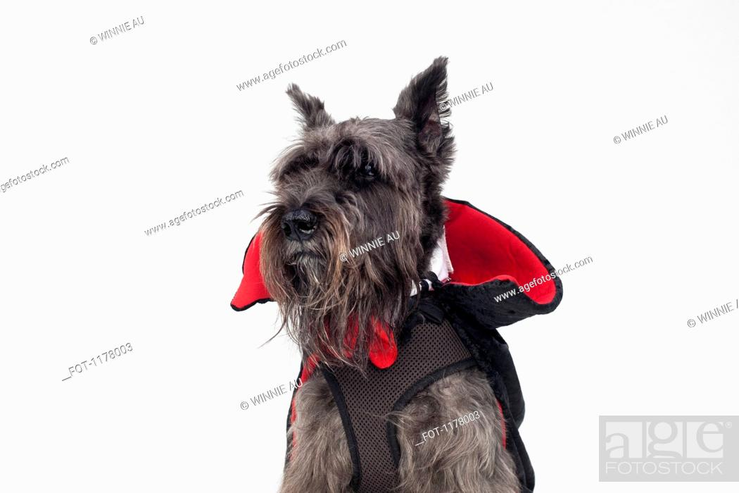 Stock Photo: A Schnauzer wearing a Count Dracula cape costume.