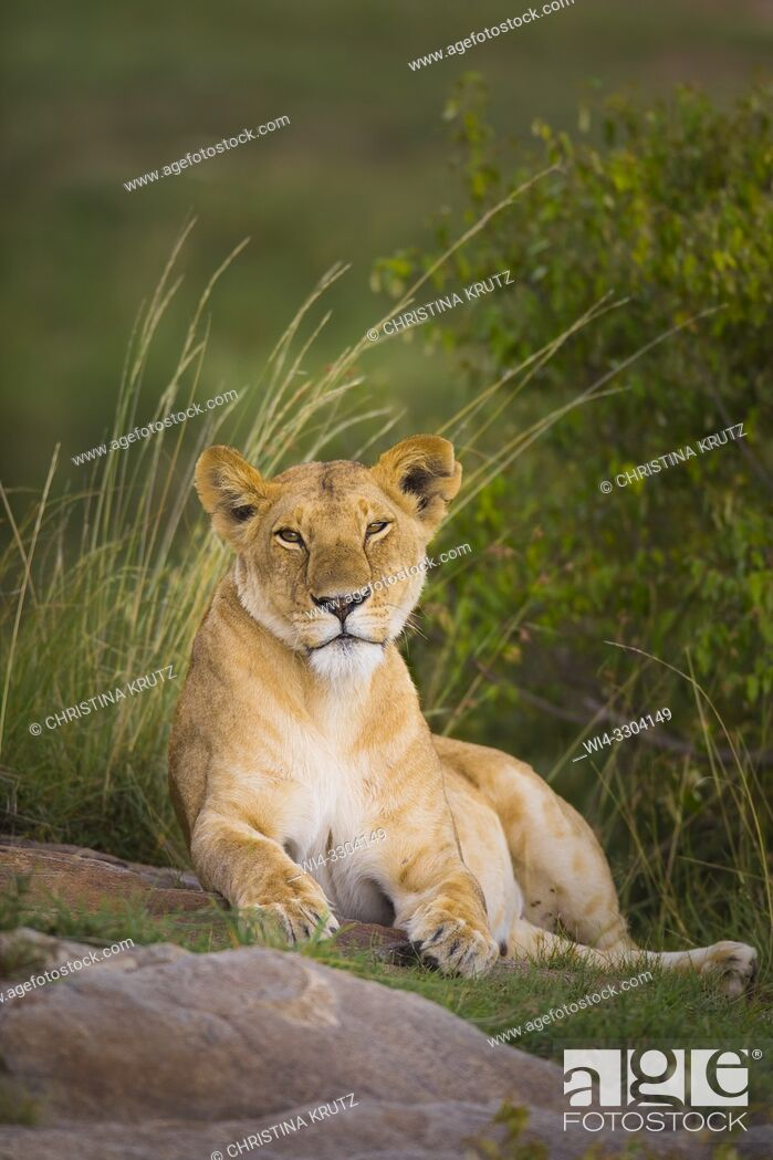 Stock Photo: African Lion (Panthera leo), female resting, Maasai Mara National Reserve, Kenya, Africa.