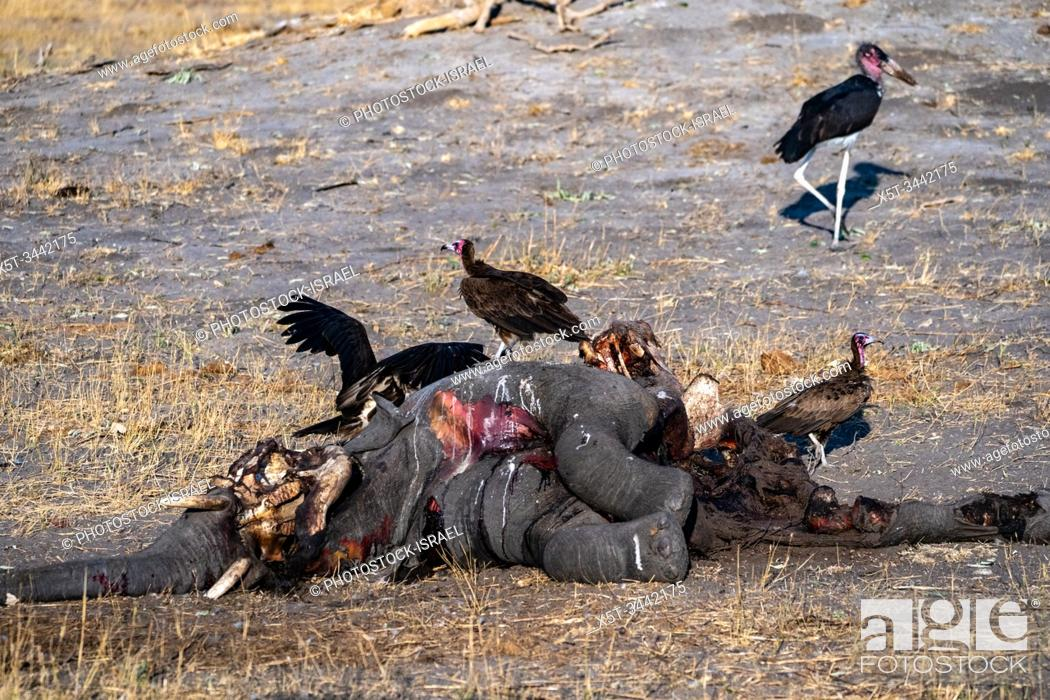 Stock Photo: A carcass of a dead elephant is eaten by white-backed vultures (Gyps africanus). Photographed at Hwange National Park, Zimbabwe.