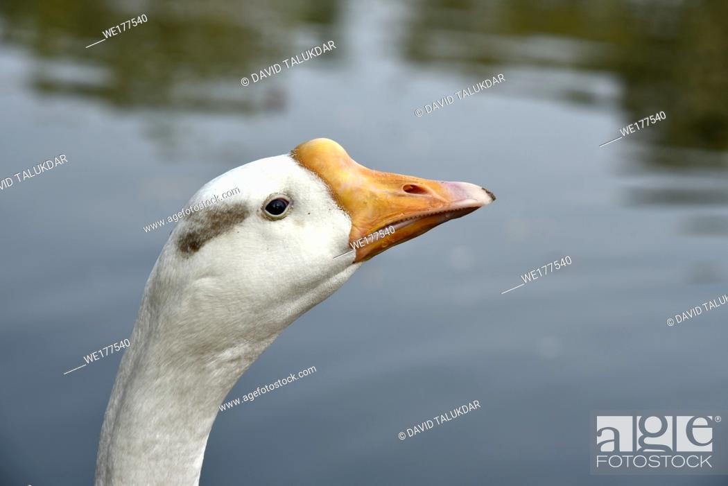 Stock Photo: Head and neck of a goose.