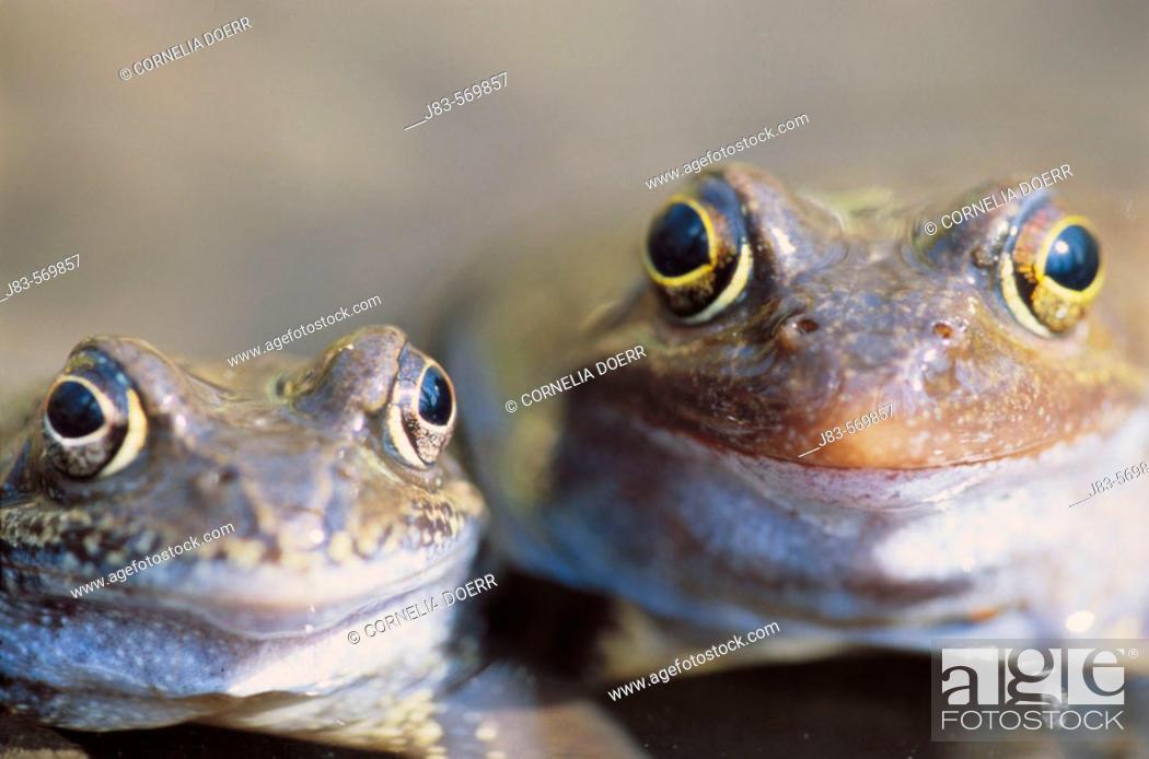 Stock Photo: Common european frog. (Rana temporaria). Saxony, Germany.