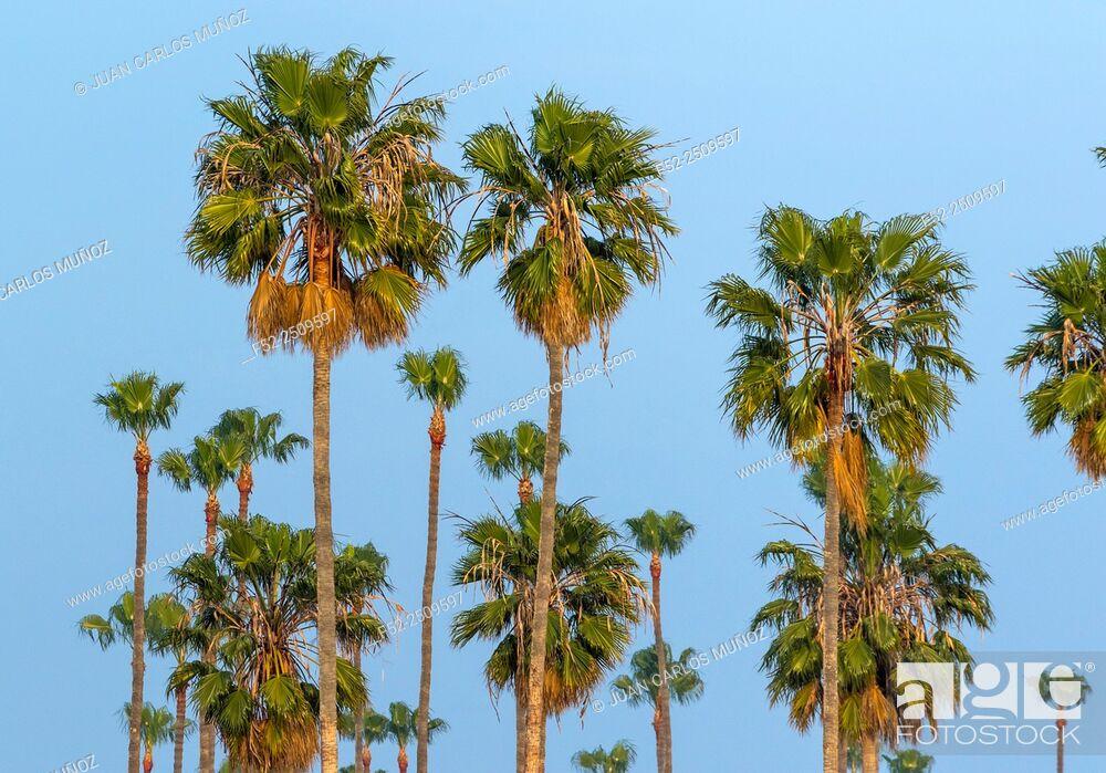 Stock Photo: Palm Tree, California, USA.