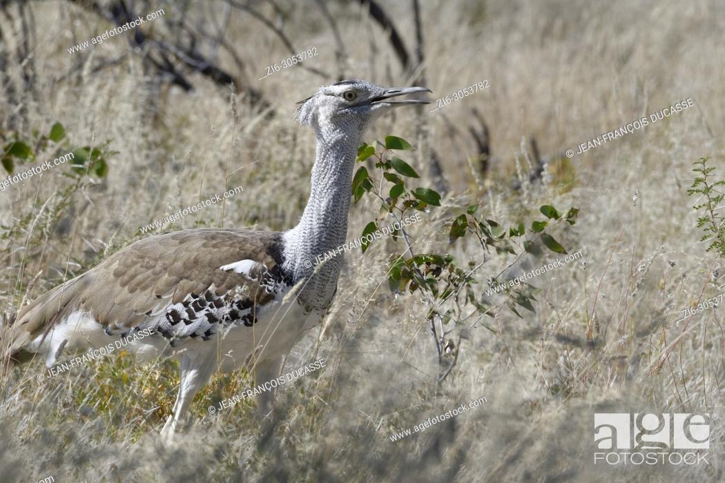 Stock Photo: Kori bustard (Ardeotis kori), in high dry grass, Etosha National Park, Namibia, Africa.
